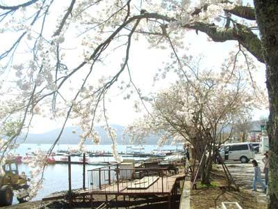20060503sakura.jpg